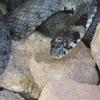 Під замком Любарта знайшли агресивну змію: фото