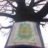 У Володимирі-Волинському дубу-старожилу – понад 100 років