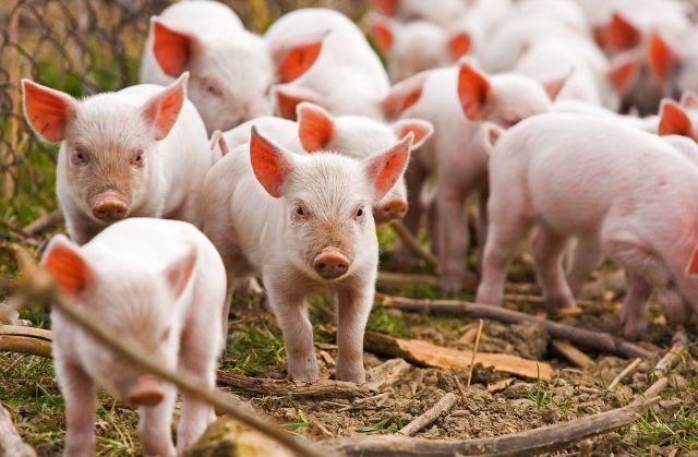 Волині загрожує африканська чума свиней