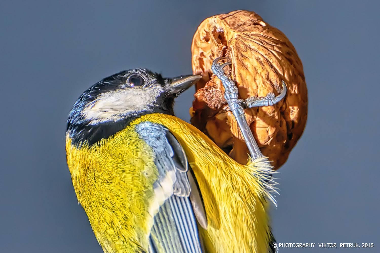 Епічна бійка синиць за горіх: фото луцького фотографа