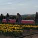 На Буковині влаштували фестиваль тюльпанів
