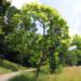 У луцькому парку зацвіло рідкісне дерево