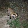У ковельському парку облаштувалася лисиця. ФОТО