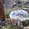 Найпізніші гриби сезону: за півтори години - повний кошичок зелениць. ФОТО